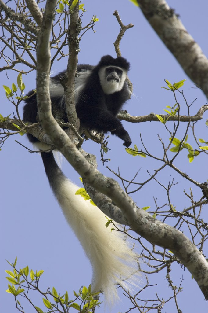Mantled Colobus (Colobus guereza) in tree, Aberdare National Park, Kenya : Stock Photo