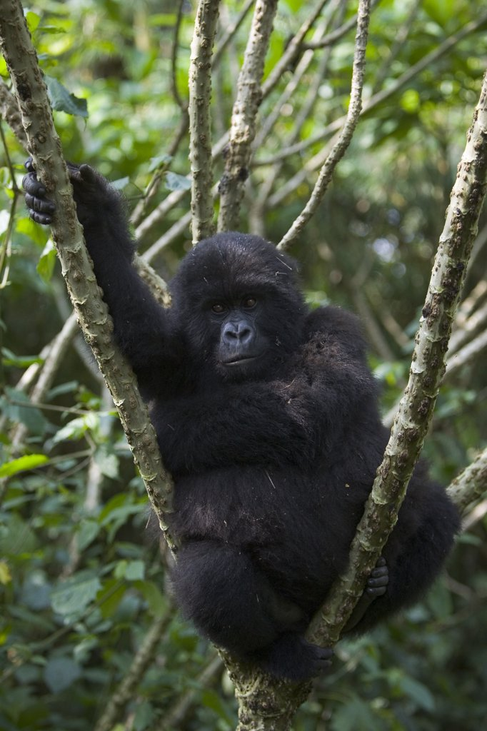 Stock Photo: 4201-79065 Mountain Gorilla (Gorilla gorilla beringei) juvenile resting in tree, endangered, Parc National Des Volcans, Rwanda