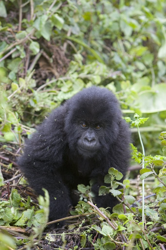 Mountain Gorilla (Gorilla gorilla beringei) five year old baby, endangered, Parc National Des Volcans, Rwanda : Stock Photo