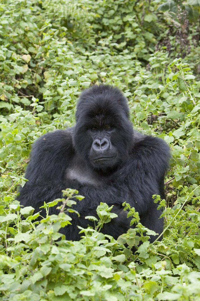 Mountain Gorilla (Gorilla gorilla beringei) large silverback male sitting in thick vegetation, endangered, Parc National Des Volcans, Rwanda : Stock Photo