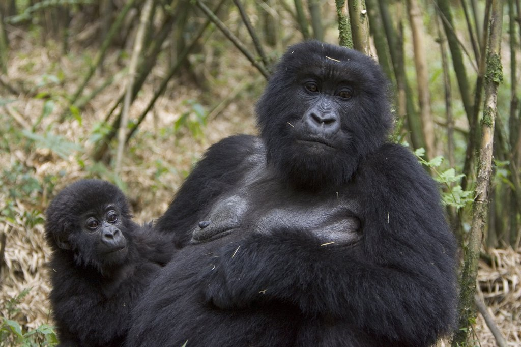 Mountain Gorilla (Gorilla gorilla beringei) mother with 10 month old infant, endangered, Parc National Des Volcans, Rwanda : Stock Photo