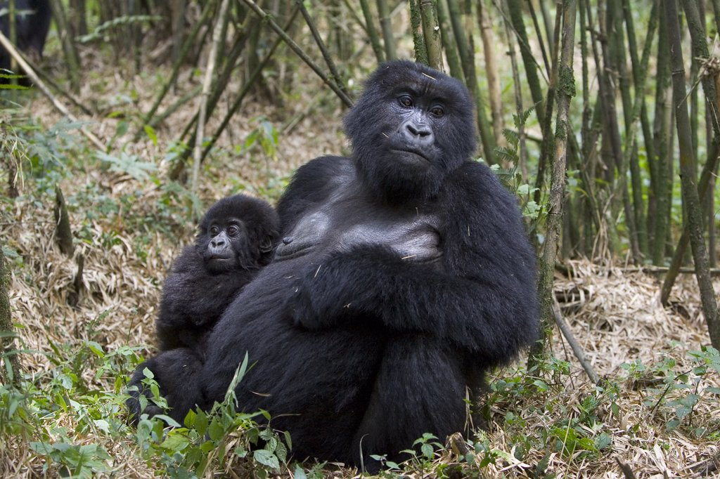 Stock Photo: 4201-79090 Mountain Gorilla (Gorilla gorilla beringei) mother with 10 month old infant, endangered, Parc National Des Volcans, Rwanda