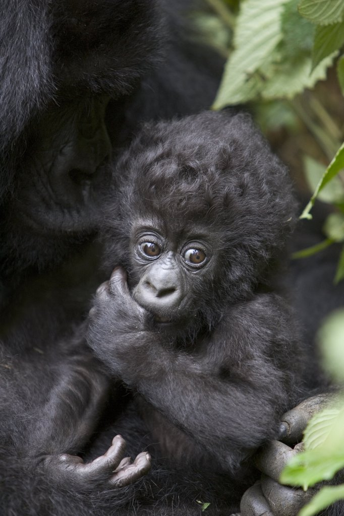 Stock Photo: 4201-79098 Mountain Gorilla (Gorilla gorilla beringei) three month old infant sucking on thumb, endangered, Parc National Des Volcans, Rwanda