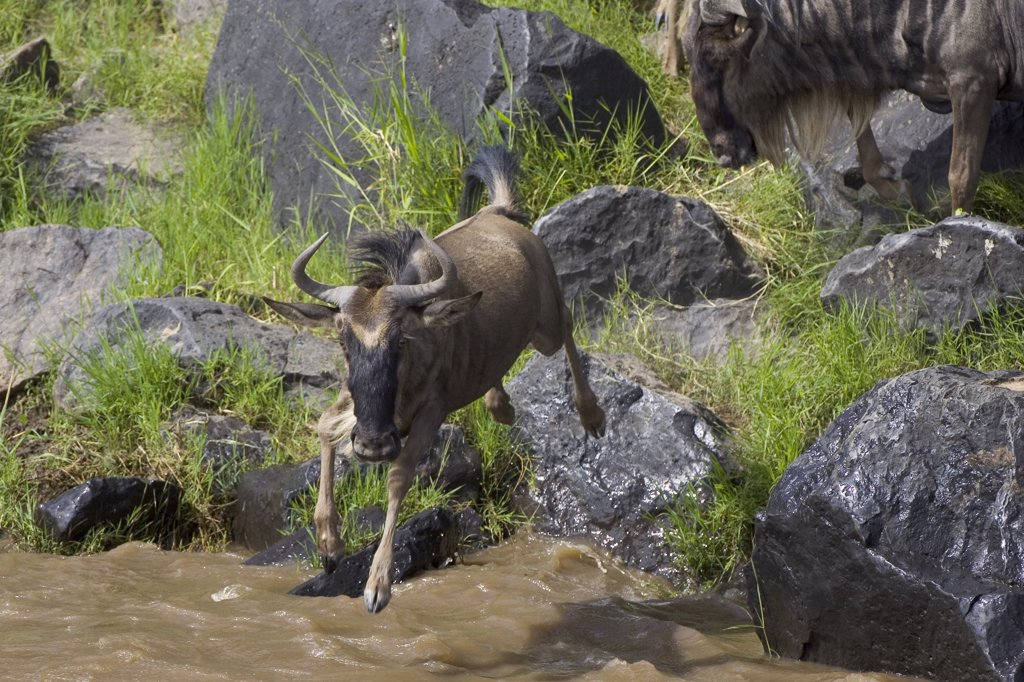 Blue Wildebeest (Connochaetes taurinus) leaping into the Mara River during migration, Masai Mara National Reserve, Kenya : Stock Photo