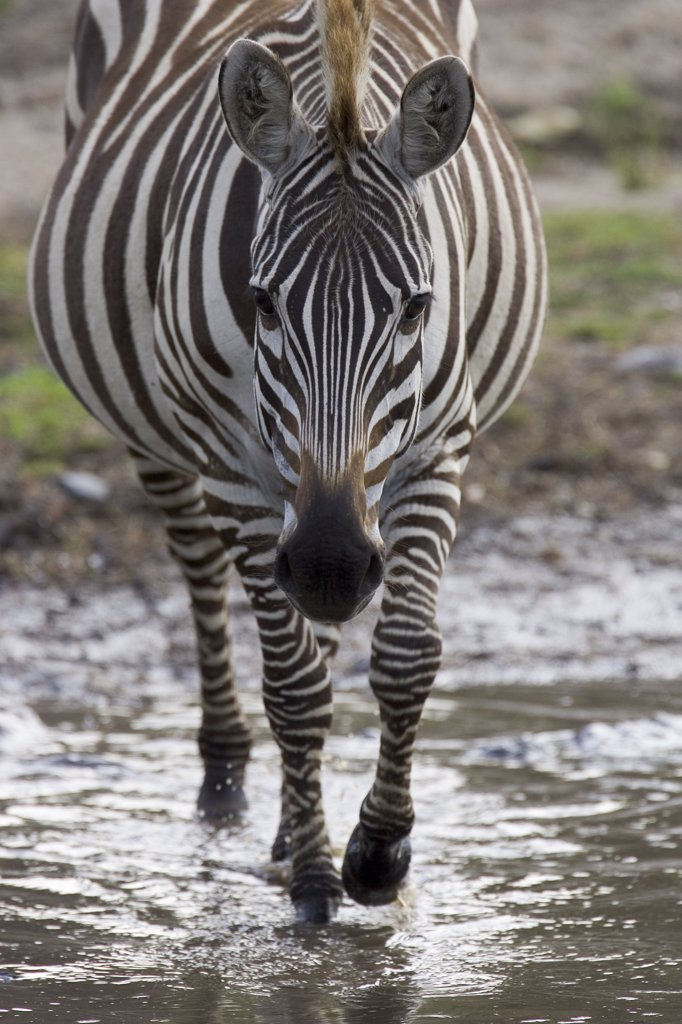 Burchell's Zebra (Equus burchellii) portrait, Masai Mara National Reserve, Kenya : Stock Photo
