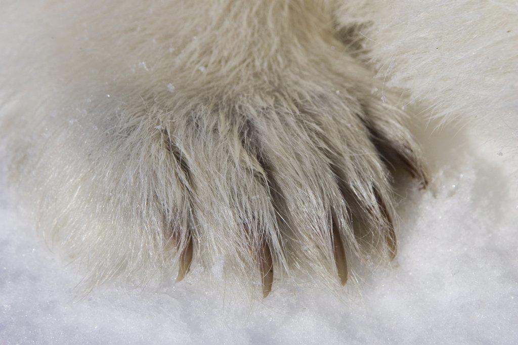 Polar Bear (Ursus maritimus) paw of three to four month old cub, vulnerable, Wapusk National Park, Manitoba, Canada : Stock Photo