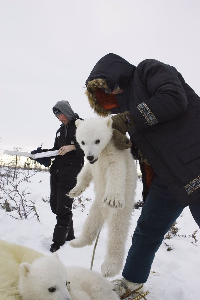 Stock Photo: 4201-79249 Polar Bear (Ursus maritimus) researcher Nick Lunn holds three to four month old cub by the scruff while administering an anesthetic, vulnerable, Wapusk National Park, Manitoba, Canada
