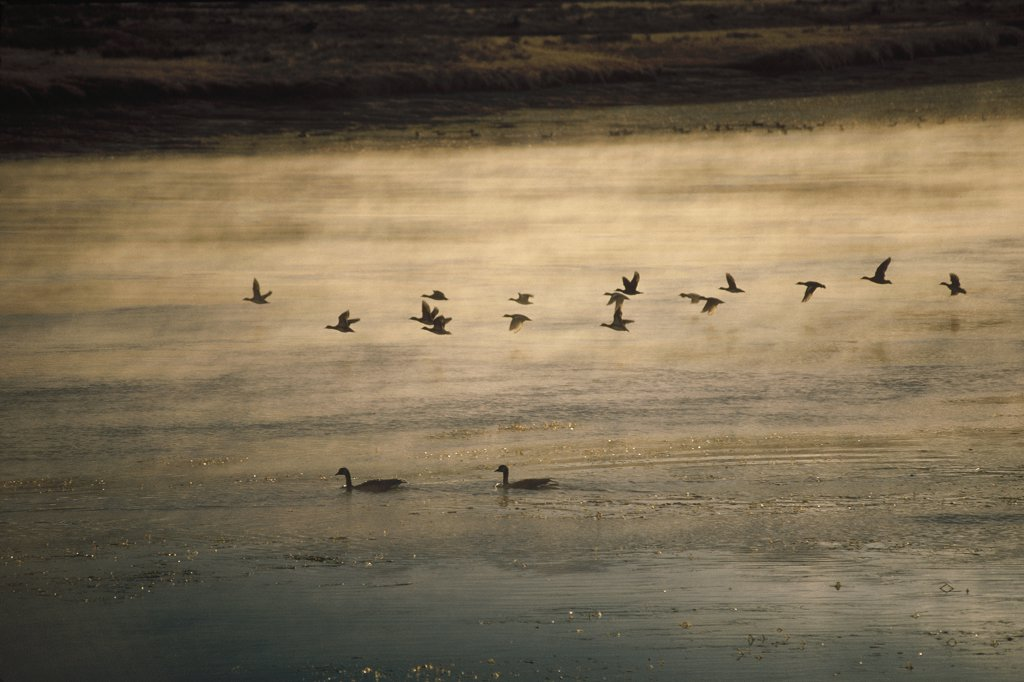 Canada Goose (Branta canadensis) flock flying, misty lake, North America : Stock Photo