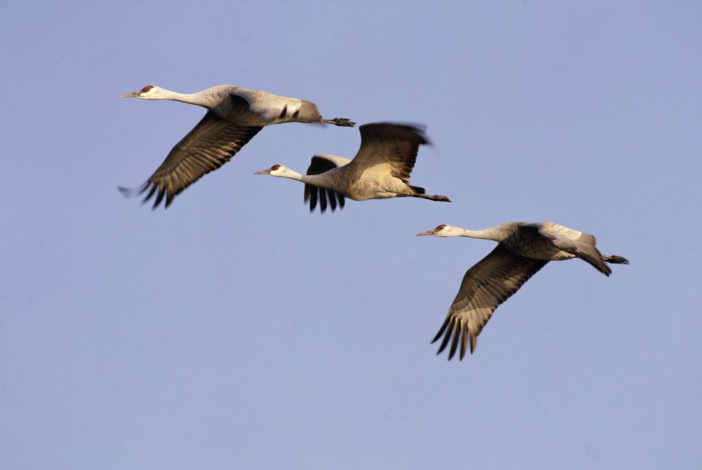Sandhill Crane (Grus canadensis) trio flying, North America : Stock Photo
