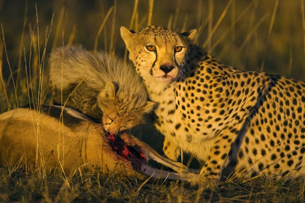 Cheetah (Acinonyx jubatus) mother and ten to twelve week old cub at kill at sunset, Maasai Mara Reserve, Kenya : Stock Photo