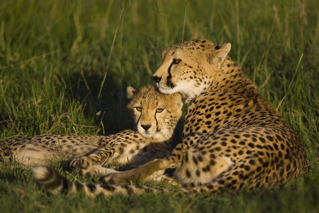 Stock Photo: 4201-79557 Cheetah (Acinonyx jubatus) mother and 7 to 9 month old cub, Masai Mara National Reserve, Kenya