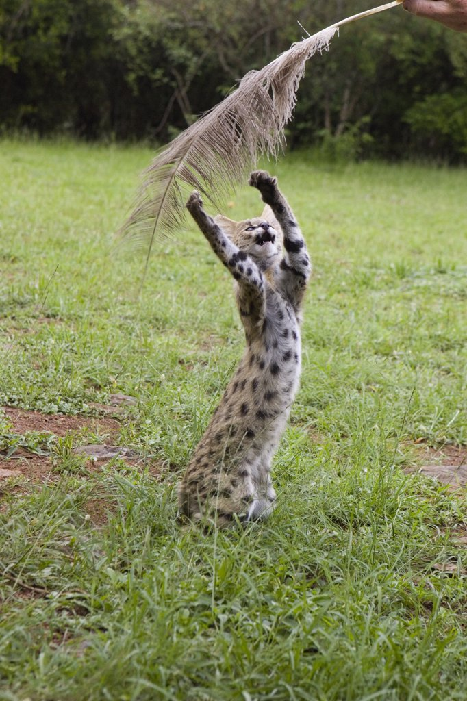 Stock Photo: 4201-79819 Serval (Leptailurus serval) kitten, thirteen week old orphan playing with ostrich feather held by foster parent, Masai Mara Reserve, Kenya