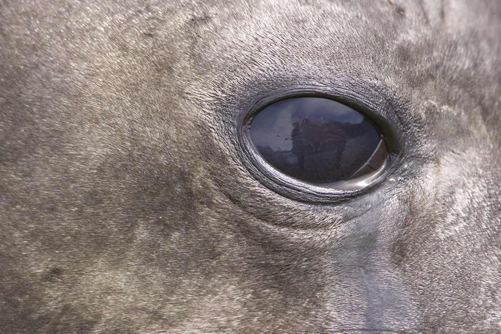 Southern Elephant Seal (Mirounga leonina) eye of adult female, South Georgia Island : Stock Photo