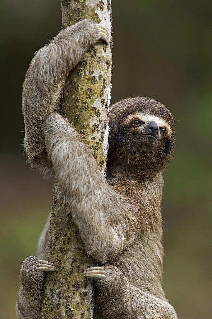 Brown-throated Three-toed Sloth (Bradypus variegatus) climbing up a tree trunk, Amazon ecosystem, Peru : Stock Photo