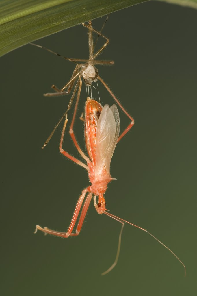 Assassin Bug (Heza sp) emerging from molted carapace, a true bug of the Heteroptera suborder, Guanacaste, Costa Rica : Stock Photo