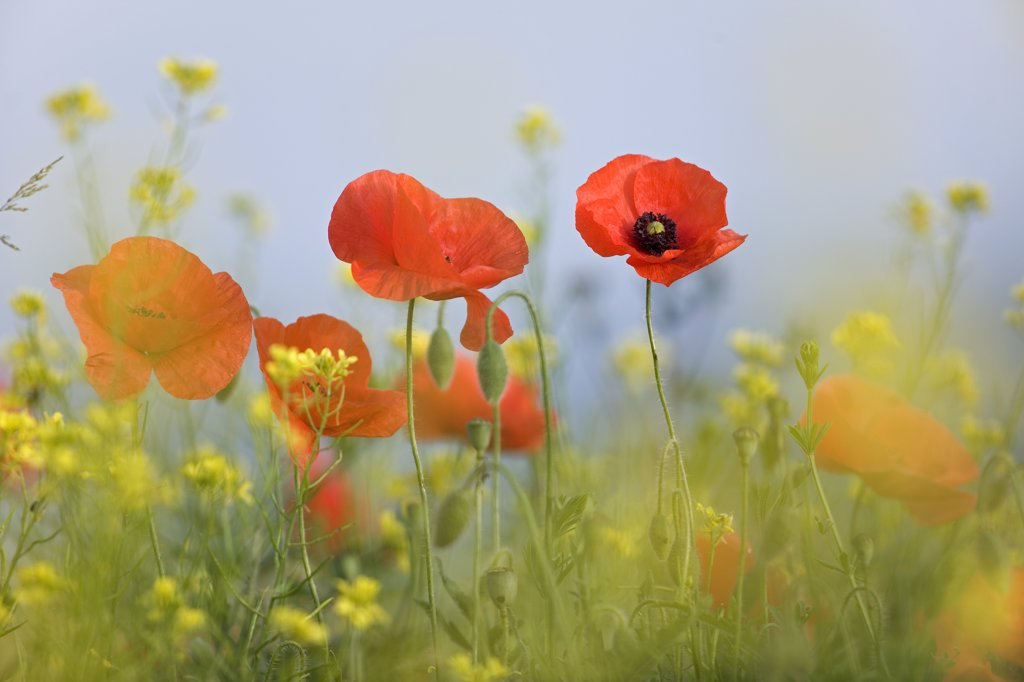 Stock Photo: 4201-80519 Red Poppy (Papaver rhoeas) flowers, Europe