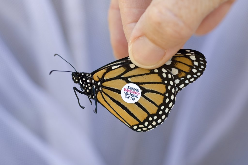 Monarch (Danaus plexippus) butterfly tagged by scientists to find out more about migratory flight routes and patterns, Cape May, New Jersey : Stock Photo