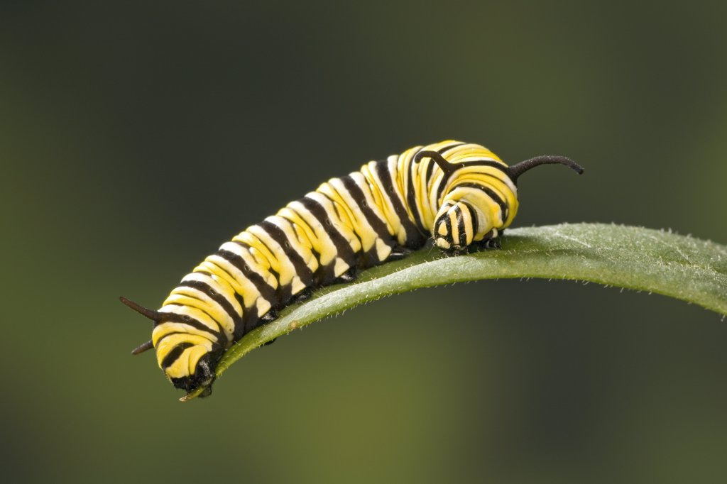 Stock Photo: 4201-80713 Monarch (Danaus plexippus) butterfly caterpillar feeding on Milkweed (Asclepias sp) leaf, Cape May, New Jersey