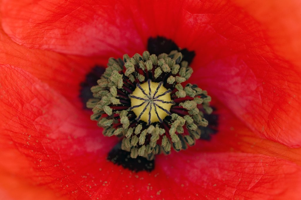 Stock Photo: 4201-80811 Red Poppy (Papaver rhoeas) flower showing pistil and stamens, Germany