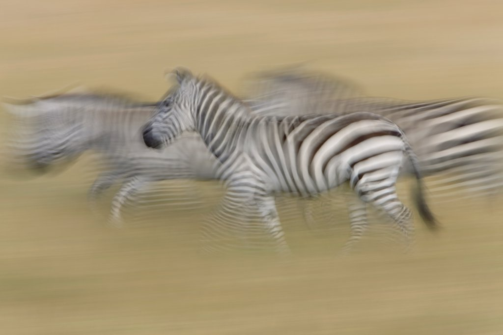 Stock Photo: 4201-80866 Burchell's Zebra (Equus burchellii) trio running, Masai Mara National Reserve, Kenya