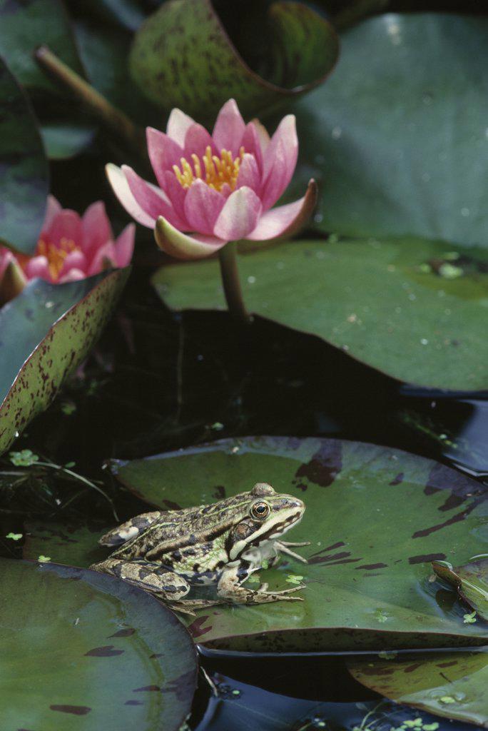 Edible Frog (Rana esculenta) on waterlily leaf in garden pond : Stock Photo