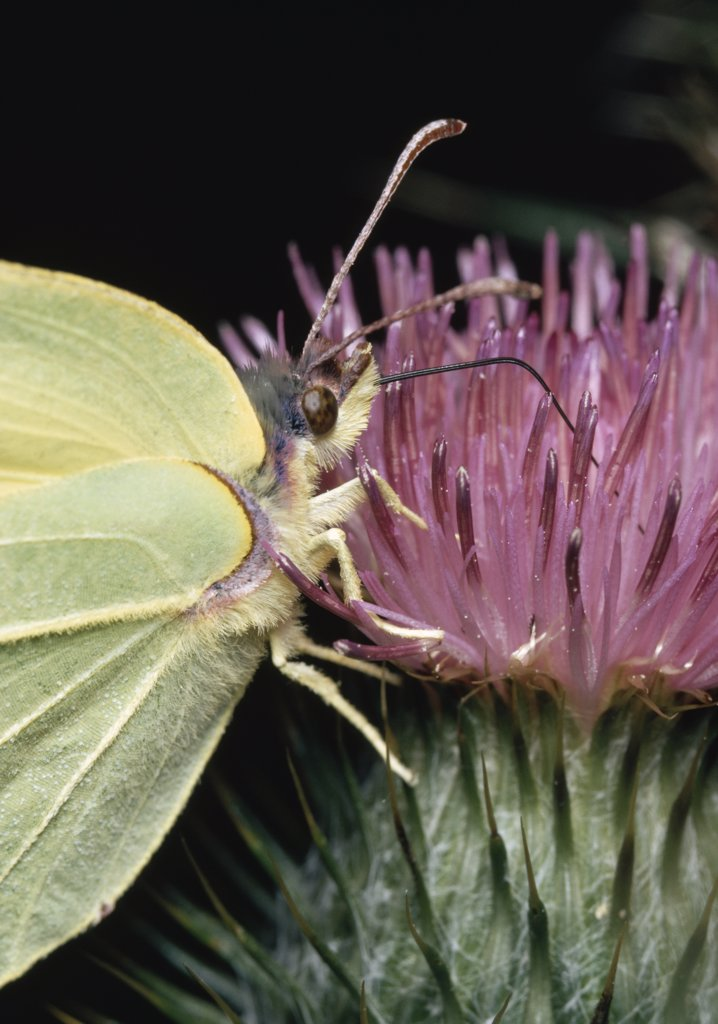 Stock Photo: 4201-81303 Brimstone (Gonepteryx rhamni) using proboscis to feed at thistle flower