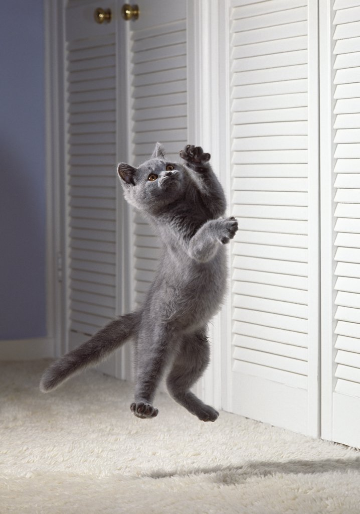 Stock Photo: 4201-81314 British Blue Cat (Felis catus) in mid-air