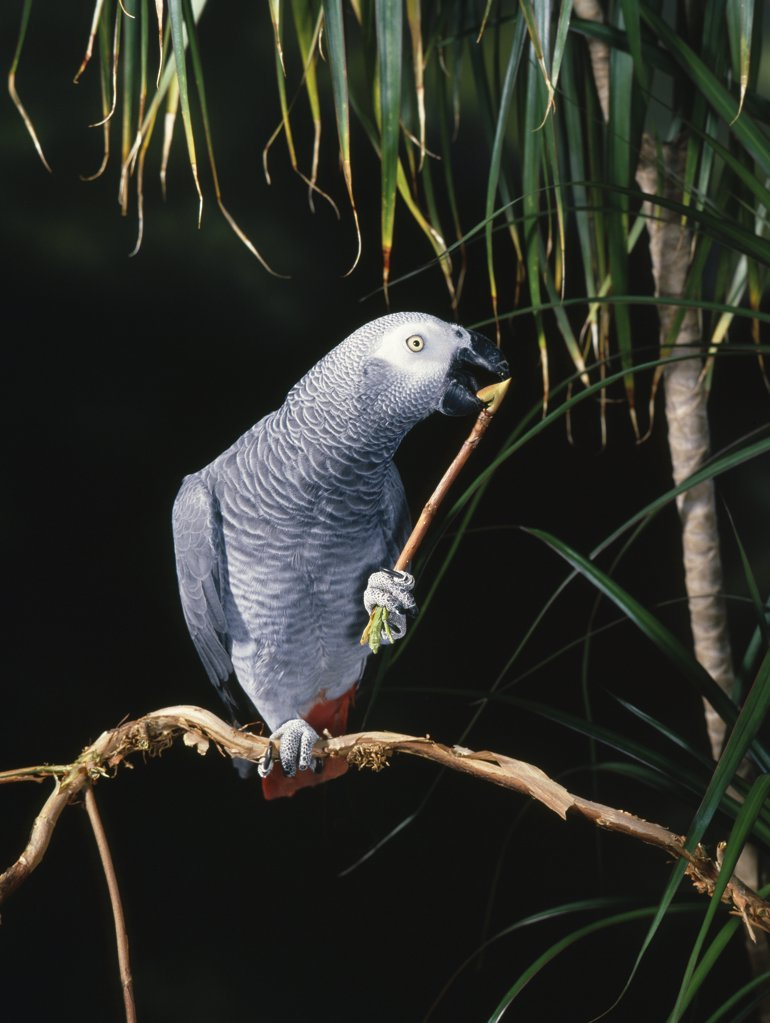 Stock Photo: 4201-81331 African Grey Parrot (Psittacus erithacus) nibbling twig