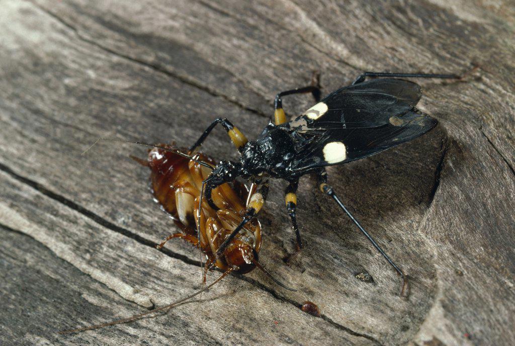 Stock Photo: 4201-81489 Assassin Bug (Platymeris biguttata) with cockroach prey, Africa