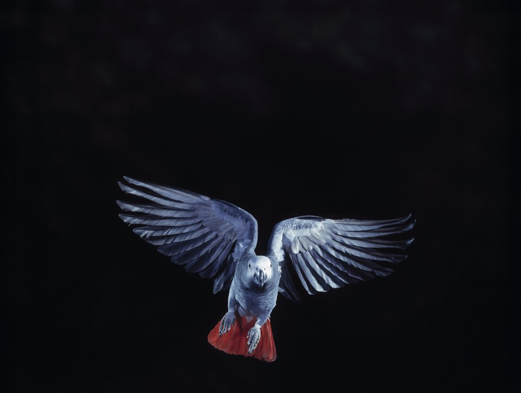 Stock Photo: 4201-81574 African Grey Parrot (Psittacus erithacus) flying