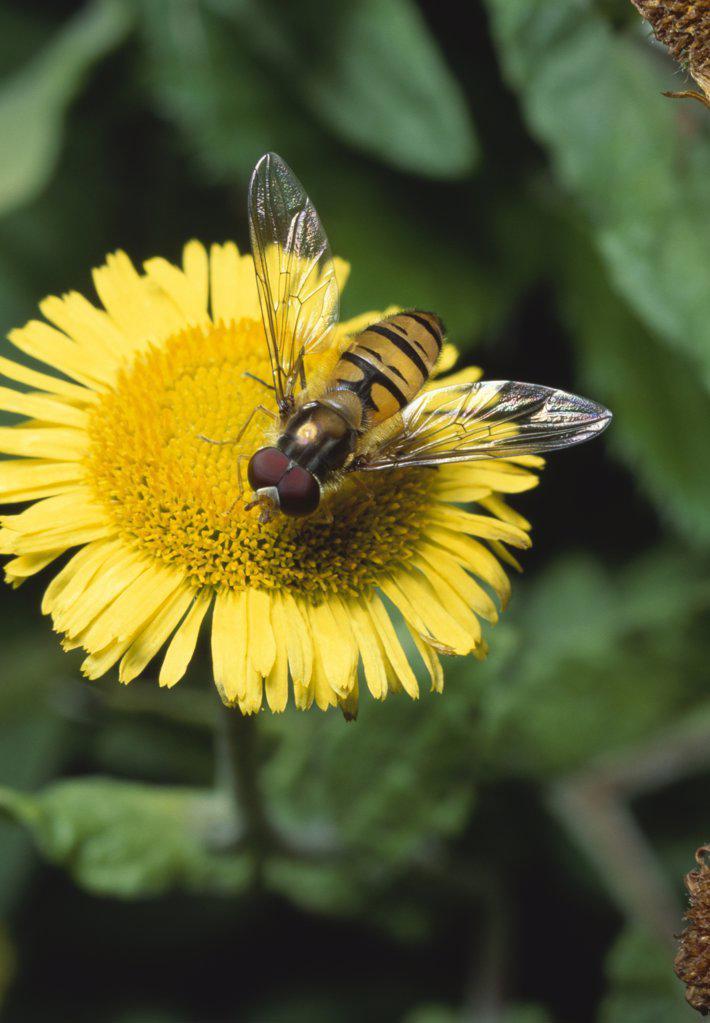 Marmalade Hover Fly (Episyrphus balteatus) on fleabane : Stock Photo