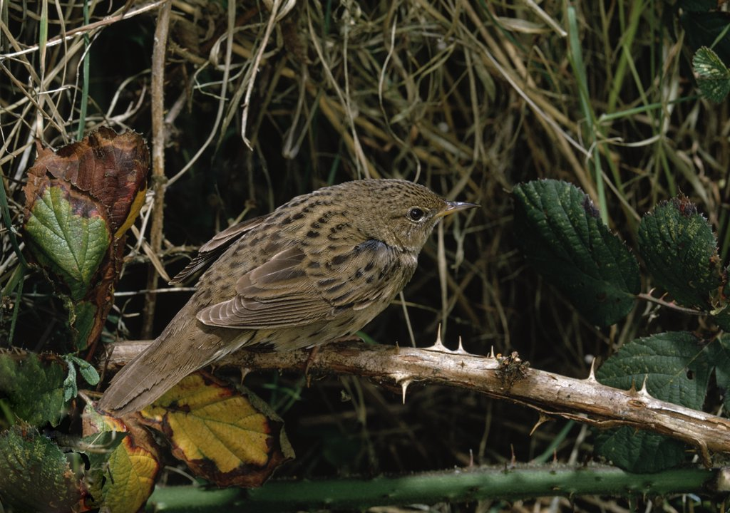 Grasshopper Warbler (Locustella naevia) perching on dead bramble : Stock Photo