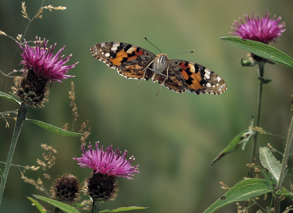 Stock Photo: 4201-81802 Painted Lady (Vanessa cardui) butterfly flying over knapweed