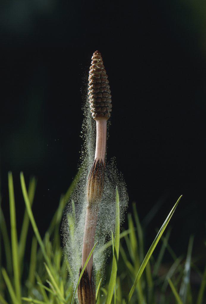 Stock Photo: 4201-81863 Field Horsetail (Equisetum arvense) shedding pollen