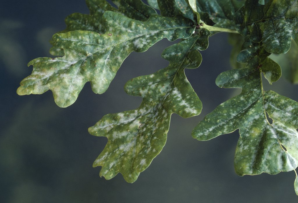 Stock Photo: 4201-81893 Oak Mildew (Microsphaera alphitoides) infesting oak foliage