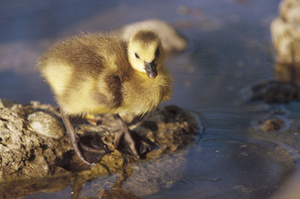 Canada Goose (Branta canadensis) chick at water's edge, Germany : Stock Photo