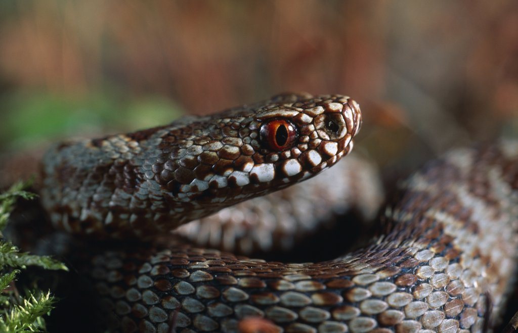 Stock Photo: 4201-81922 Common European Adder (Vipera berus) eye