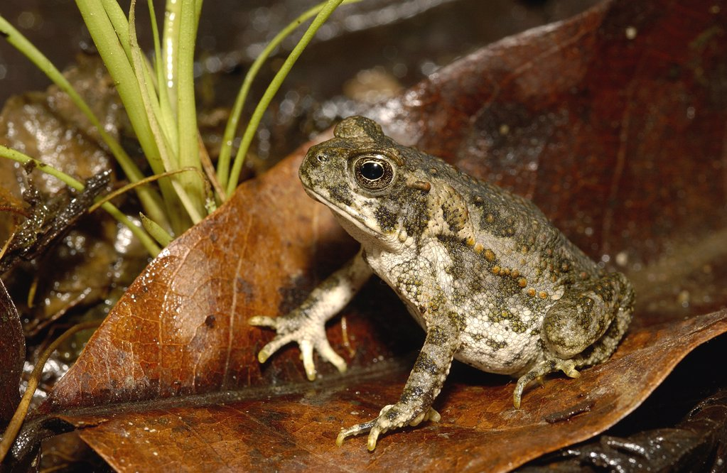 Stock Photo: 4201-82081 Cane Toad (Bufo marinus) juvenile, Mindo cloud forest, Ecuador