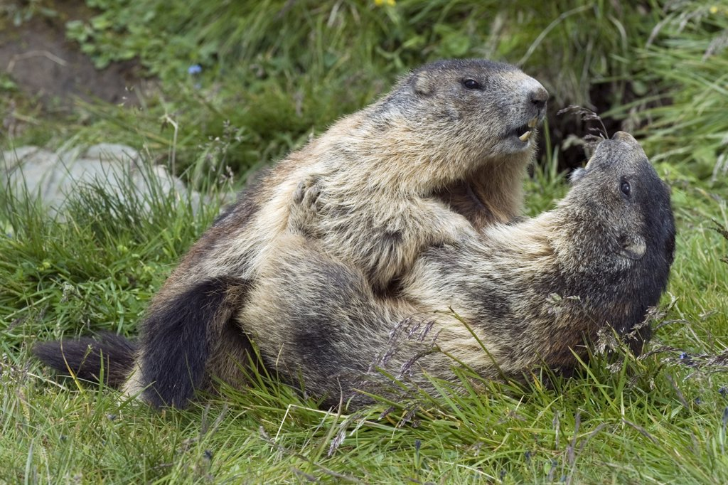 Alpine Marmot (Marmota marmota) pair playing, Heiligenblut, Hohe Tauern National Park, Austria : Stock Photo