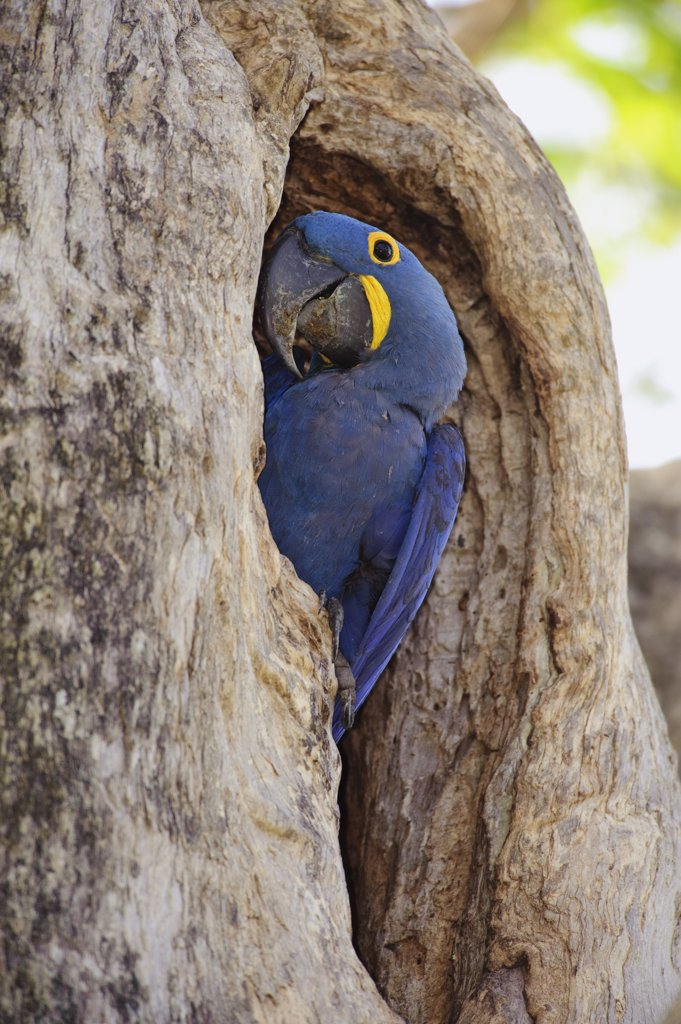 Hyacinth Macaw (Anodorhynchus hyacinthinus) in nest entrance, Brazil : Stock Photo