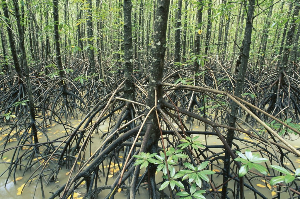 Mangrove (Avicennia sp) forest, Noah Creek, Daintree National Park, Queensland, Australia : Stock Photo
