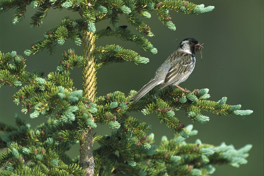 Stock Photo: 4201-82225 Harris's Sparrow (Zonotrichia querula) perched in a Conifer tree with an insect it has caught, Northwest Territories, Canada