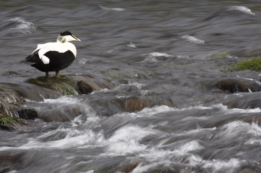 Stock Photo: 4201-82243 Common Eider (Somateria mollissima) male, Iceland