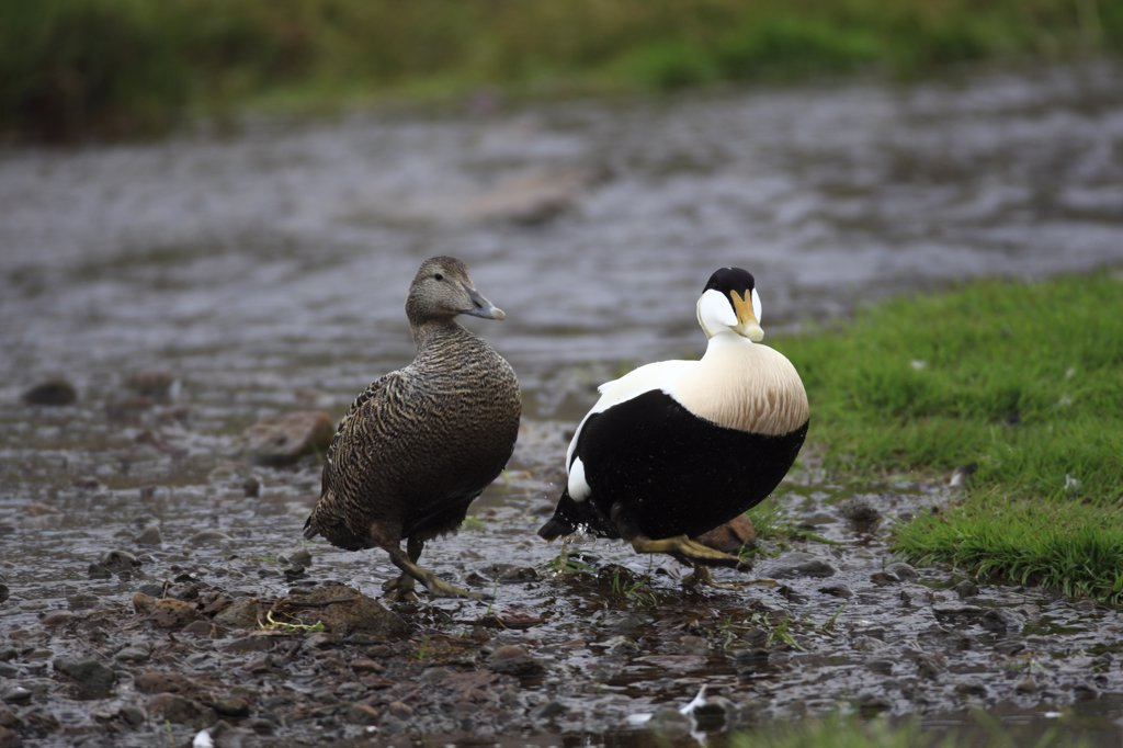 Common Eider (Somateria mollissima) couple, Iceland : Stock Photo