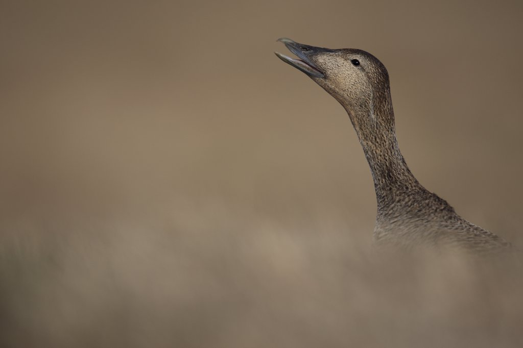 Common Eider (Somateria mollissima) female calling, Iceland : Stock Photo