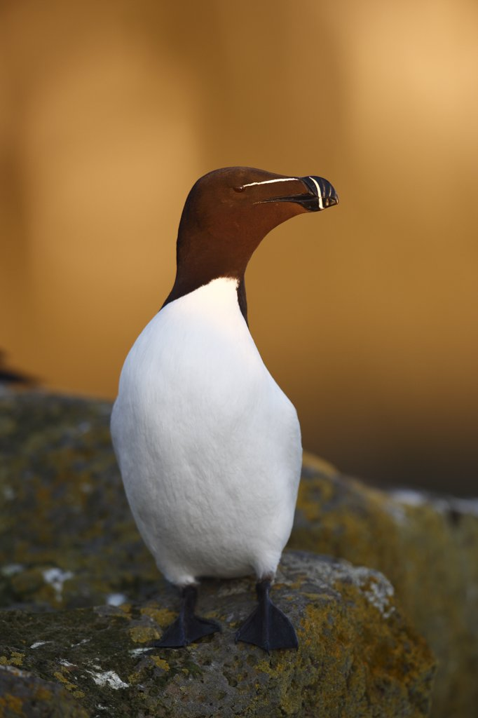 Razorbill (Alca torda), Latrabjarg Cliff, West Fjords, Iceland : Stock Photo