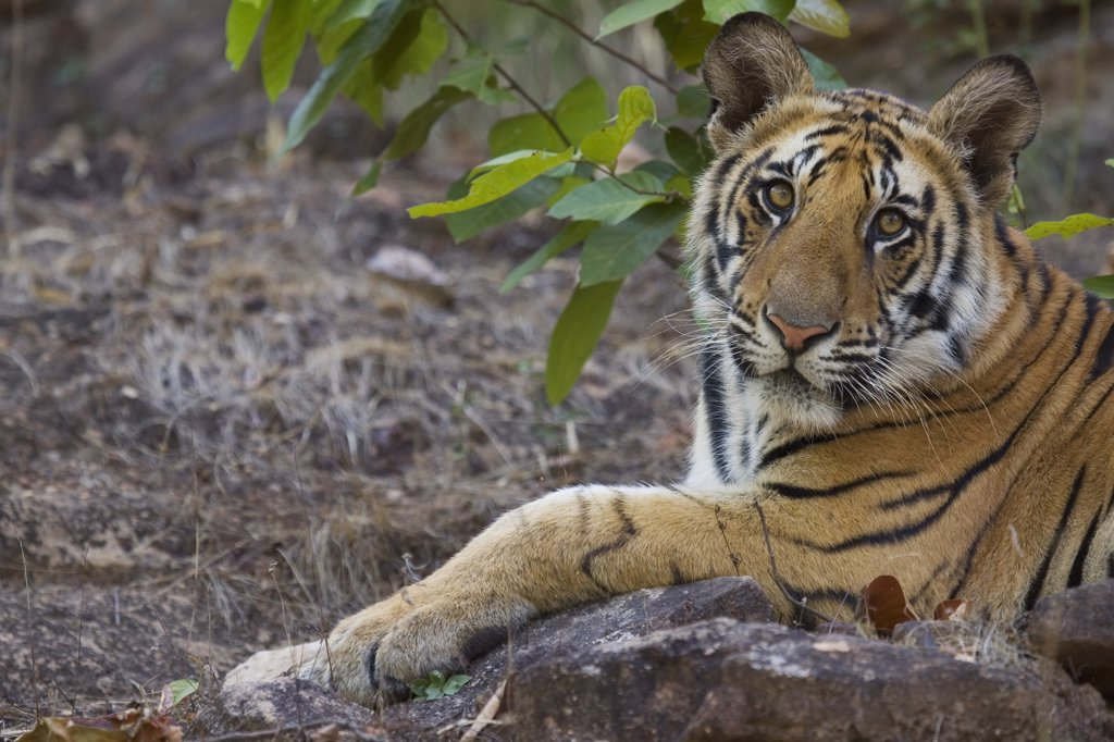Stock Photo: 4201-82347 Bengal Tiger (Panthera tigris tigris) 11 month old cub lying on rock, dry season, April, Bandhavgarh National Park, India