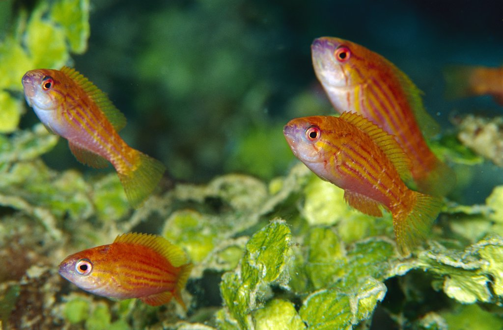 Stock Photo: 4201-82422 Goby group in Algae (Halimeda macroloba), 90 feet deep, Solomon Islands
