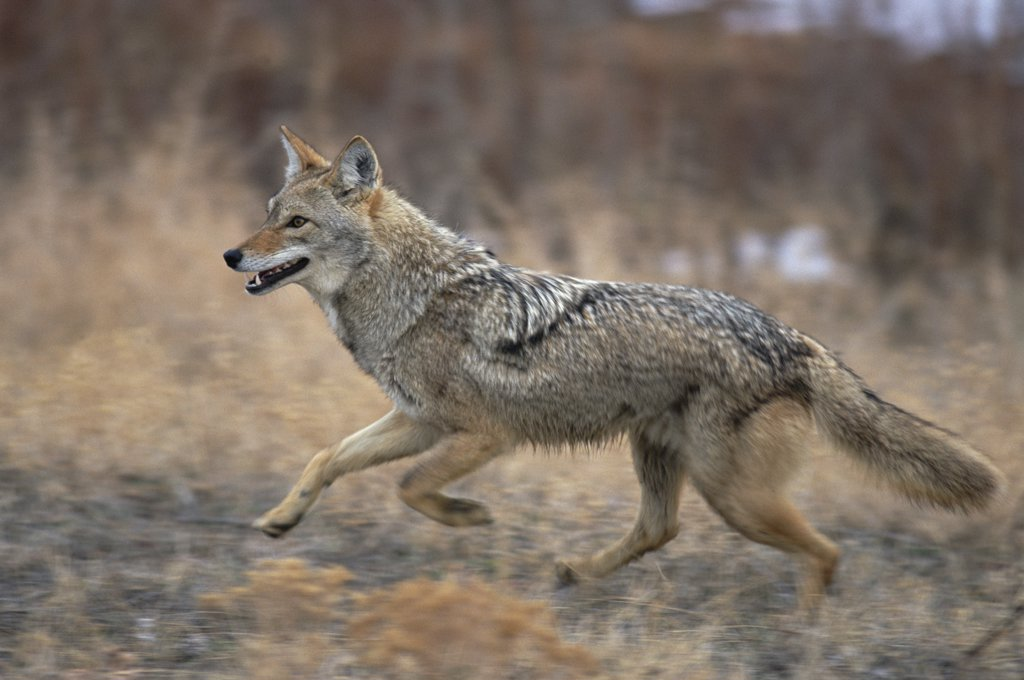 Coyote (Canis latrans) running, Alleens Park, Colorado : Stock Photo
