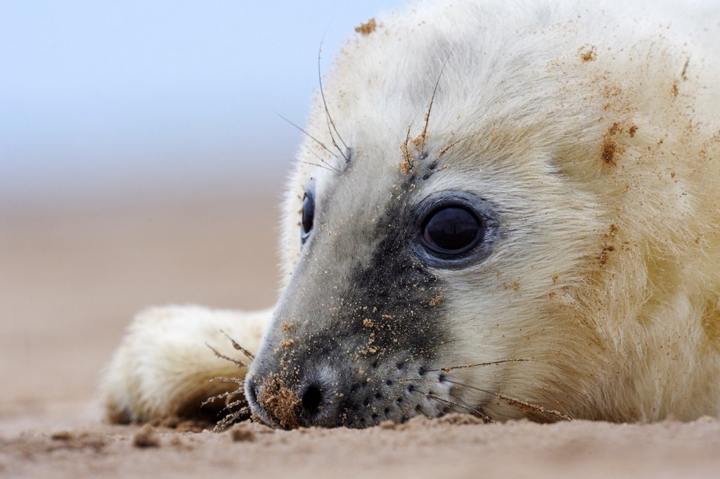 Grey Seal (Halichoerus grypus) pup, Donna Nook, Lincolnshire, United Kingdom : Stock Photo